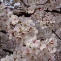 春めく風に桜茶