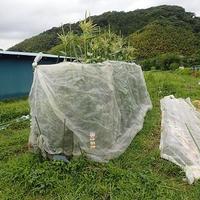 葉山農園(6月中旬)☆スイカ簡易トンネル栽培