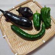家庭菜園の収穫始まりました