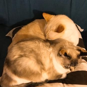 猫の突発性膀胱炎