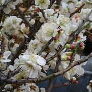 息苦しいほどの梅の花
