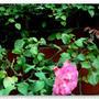 秋咲きの薔薇二輪
