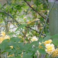 カリカリ大豆と、モッコウ薔薇。
