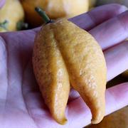 ◆庭のレモンを収穫しました♪