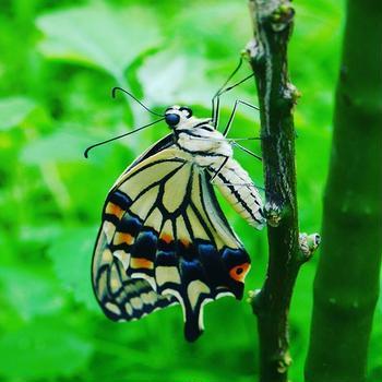 【Instagram】羽化したての蝶ってこんなにも美しいんだな#アゲハ #羽化 #アゲハ蝶 #swallowtail #butterfly