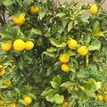 ビタミン豊富な無農薬柚子茶作り(簡単レシピあり)