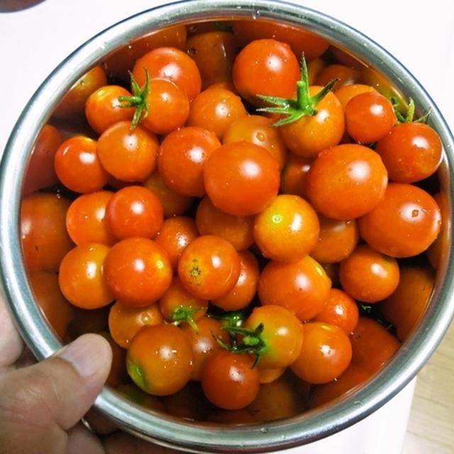 ミニトマトを収穫して