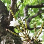 石斛のお花~v(^0^)/