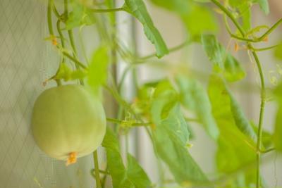 「子メロン(摘果メロン)」って知ってる?子メロンのおいしい漬物レシピをご紹介!