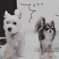 【チワワ&ウエスティ】気を使ってる犬