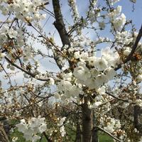 FESTA DEI CILIEGI IN FIORE a VIGNOLA 🌸 ヴィニョーラ, チェリーの花祭り