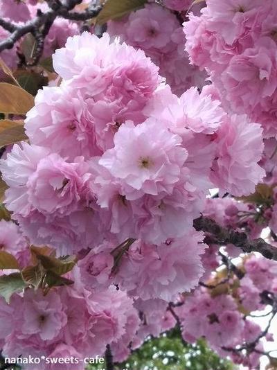 お散歩 * 八重桜満開