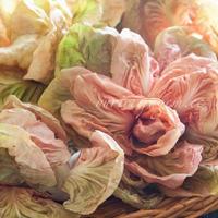 薔薇のチコリや近所のピッツェリアのイベントなど