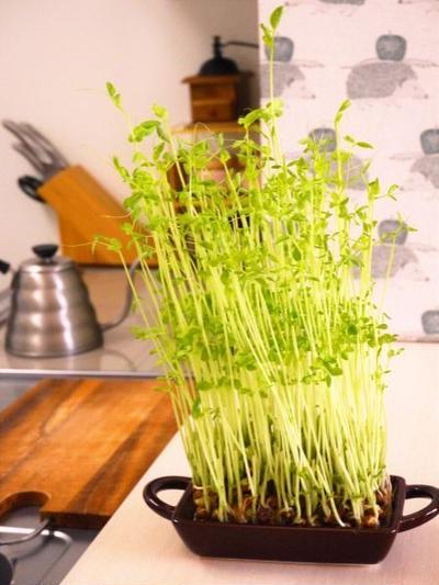 キッチン菜園♪豆苗のリボベジ(リボーンベジタブル)