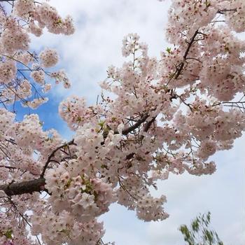 ナパバレーでお花見