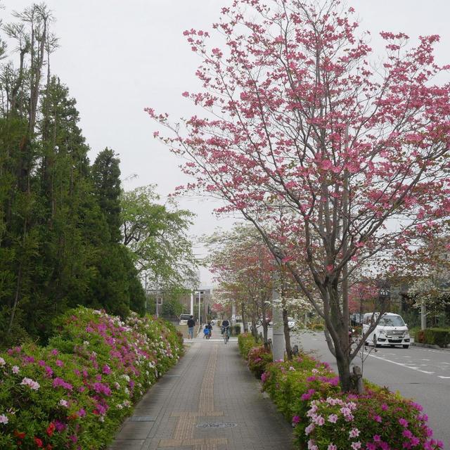 ハナミズキ 街路 樹