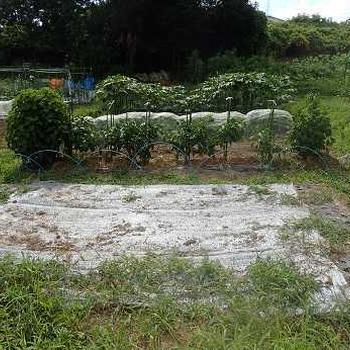 スイカ収穫&耕運機☆葉山農園(7月下旬)