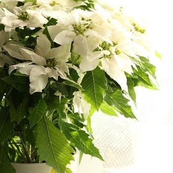 column.3 観葉植物  ~ プリンセチア クリスタルスノー ~