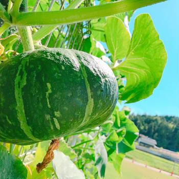 【世羅の宿ひがし】食堂『山のキッチン 里ごころ』の畑にも野菜が沢山実りました