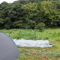 葉山農園(8月上旬)☆ネットメロン収穫時期