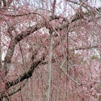 桜パウンド~🌸