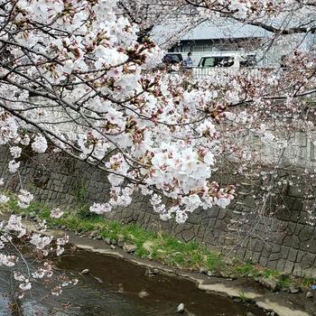 桜の季節はもう終わり