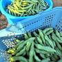 新玉ねぎと豆の収穫