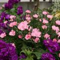 庭のナデシコの花2021