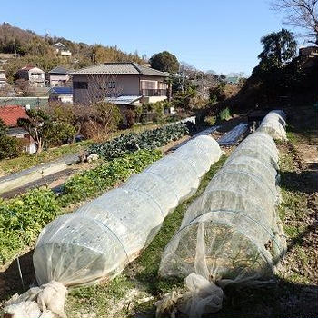 春ジャガイモ植え付け☆葉山野菜栽培記(2月中旬)