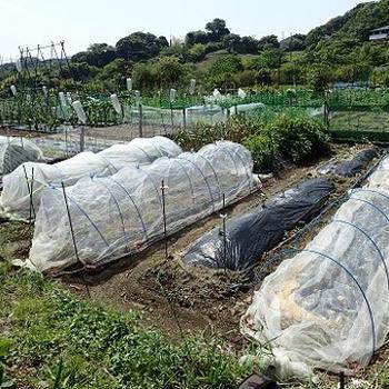 小さな菜園(5月中旬)☆ニンニクさび病収穫