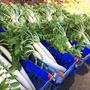 練馬大根の収穫。/畑から今日の一枚。【農家のレシピ帳】