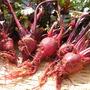 テーブルビート(ビーツ)栽培☆春の種まき時期・育て方