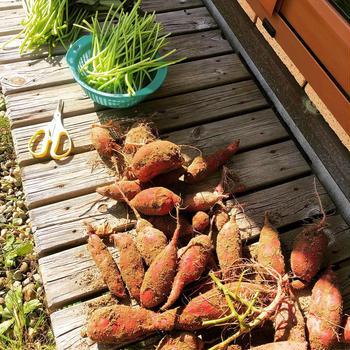 家庭菜園の芋掘り と 渋皮煮