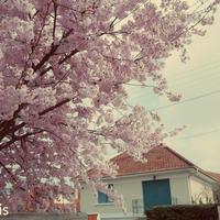 パリ郊外の桜と美しきフランソワーズ・アルディ