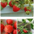 苺で楽しむ