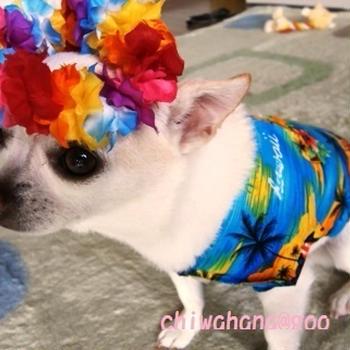 チワワのうれしかった?ハワイ土産