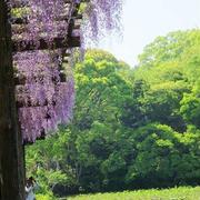 小田原城の藤