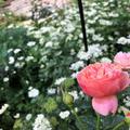 【お散歩】薔薇が綺麗です(゚∀゚)東京ガーデンテラス紀尾井町