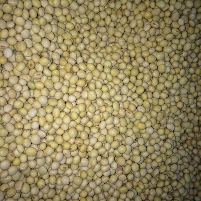 明日の味噌ワークショップの大豆。