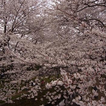 2013年 千本桜でお花見♪