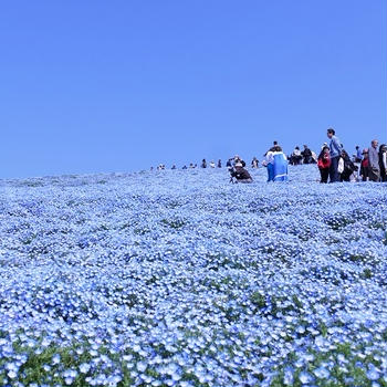 ネモフィラの丘へ2019年