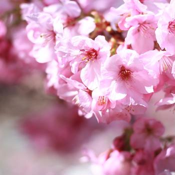 3月20日 桜が咲いたよ
