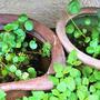 ■趣味の部屋【我が家はメダカが7鉢有り 今産卵で増え続けています><!】