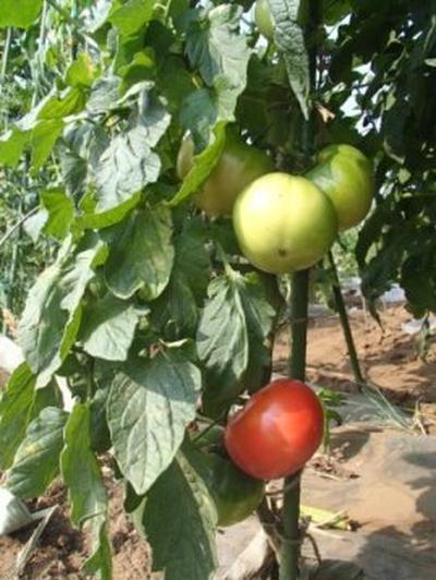 収穫したトマトで冷製パスタを作った