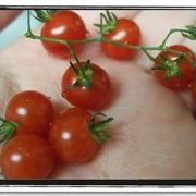 超可愛い★マイクロトマトは美味しいのか…