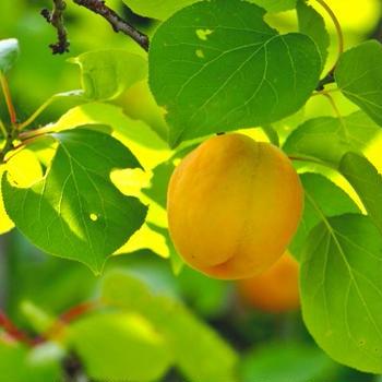 あんず/梅の木が「アブラムシ」被害に★おすすめ家庭用農薬と消毒/簡単希釈方法