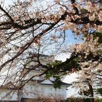 小田原で桜to鯵toまぐろ