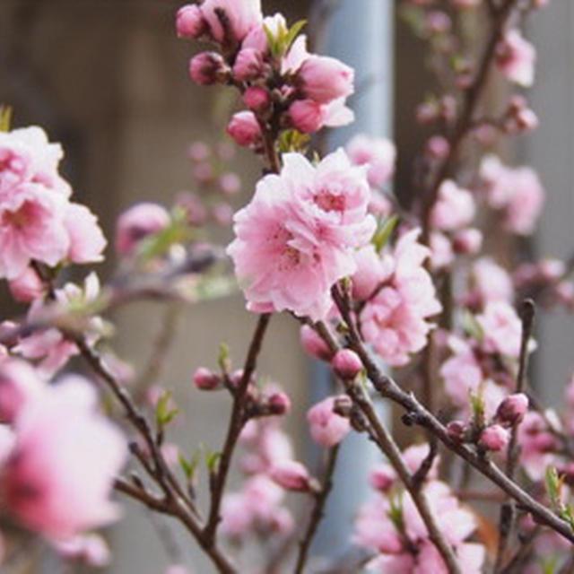 花桃 桜餅