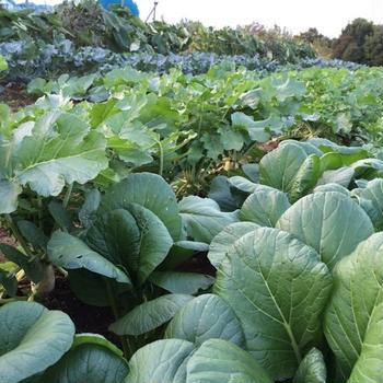 秋野菜収穫と春菊のRAWサラダ