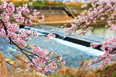 Cannon(キャノン)EOS Kiss X7「世羅町の桜 芦田川沿」